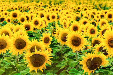 Sunflower field. field of blooming sunflowers on a background sunset. Standard-Bild