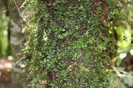 unedited: Unedited image of tree in Hunua Ranges Forest New Zealand