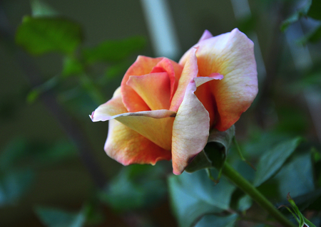 photographies: Rose