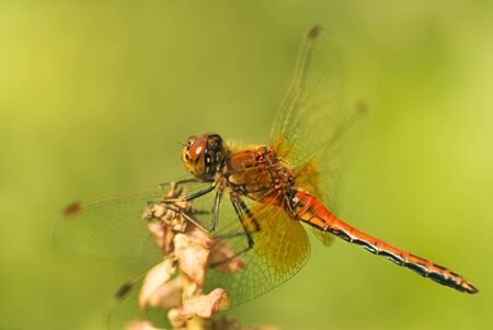 libellulidae: red dragonfly (Yellow-winged Darter, Sympetrum flaveolum) on light green
