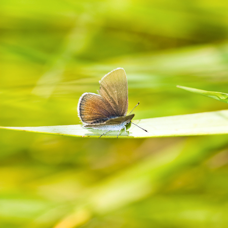 lycaenidae: small butterfly at the grass-blade holding at the wind