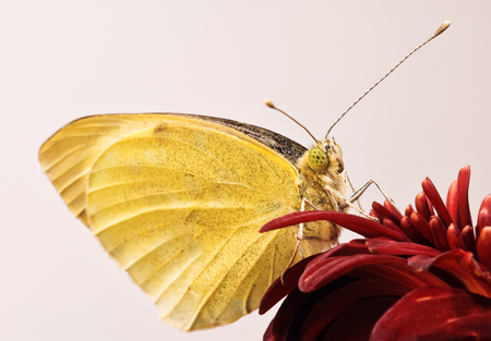 Small White butterfly (Pieris rapae) on gerbera flower close-up photo
