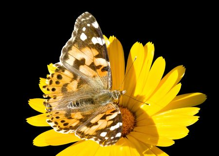 painted lady butterfly on calendula flower, isolated on black photo