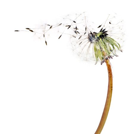 Flying dandelion seeds isolated over white
