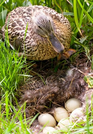 unborn: Mother-duck is standing up for her unborn babies