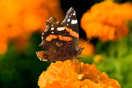 Red Admiral butterfly (Vanessa Atalanta) at the Calendulas flower-bed photo