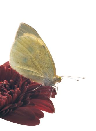 Small White butterfly (Pieris rapae) profile on gerbera flower isolated over white photo