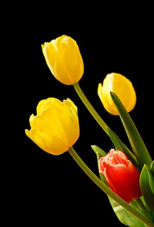 Yellow and red tulips isolated over black photo