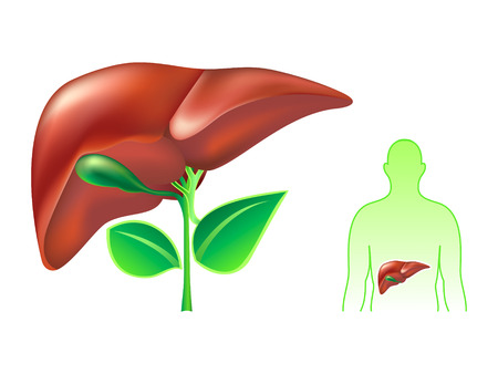 human liver: Healthy human liver concept illustration Illustration