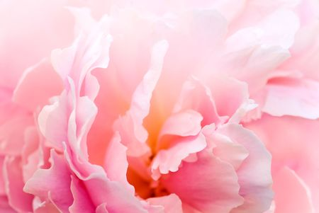 Delicate peony background for wedding and love cards