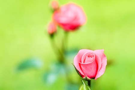Fondo Rosa delicada para tarjetas de boda y el amor  Foto de archivo - 7409599