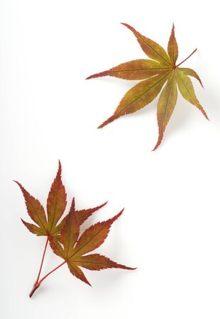 Colorful fall leaf on white background photo