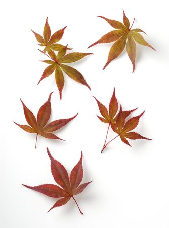 japanese maples: Colorful fall leaf on white background