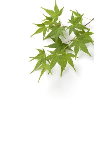 japanese maples: Japanese maple tree leaves Close-Up