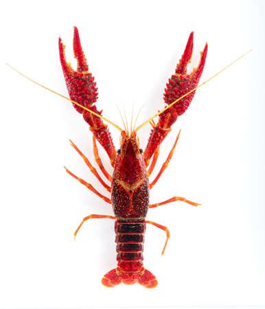 American crayfish on a white background Фото со стока
