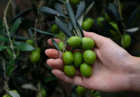 A woman's hand checking the size of an olive berry