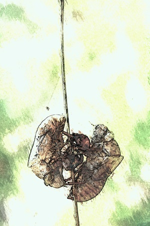 doublet: Two cicadas are molting on a twig.
