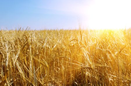 sunrays: Wheaten field and beautiful sunny sky Stock Photo