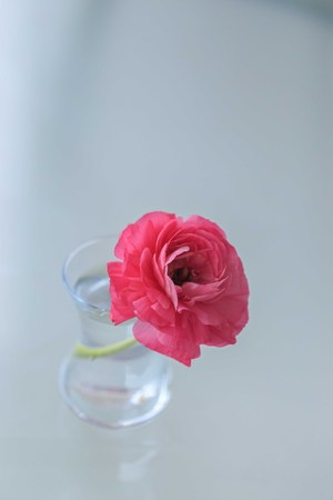 pink ranunculus flowers in small glass vase against light blurred background Banco de Imagens