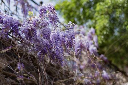 Wisteria blossom against blurred tree leaves with some wisteria in sharp focus and other wisteria blurred