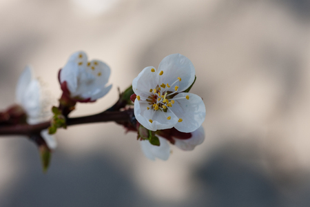 Vertical closeup of cherry flowers on branch of blossoming cherry tree against blurred background Stock Photo