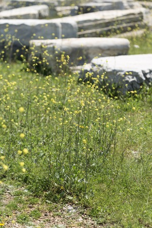 caulis: High yellow flowers with thin caulis in sharp focus and fragments of ancient buildings blurred Stock Photo