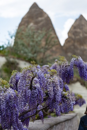 Beaufiful wisteria blooming in Cappadocia with fairy chimneys blurred on background