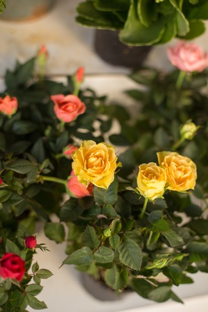 Small yellow and pink roses. Vertical composition. Shot with shallow depth of field.