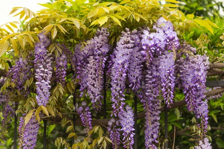 Spring concept. Beautiful purple wisteria flowers growing on metal fence. Stock Photo