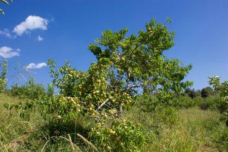 apricot tree: apricot tree