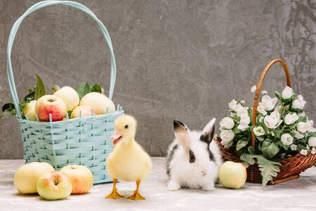 white little rabbit with black spots and a duckling in the foreground out of focus on a gray background 免版税图像