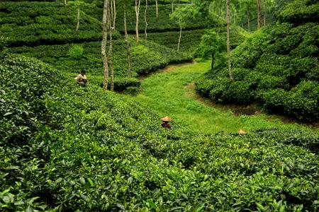 Tea Garden of Bangladesh Stock Photo