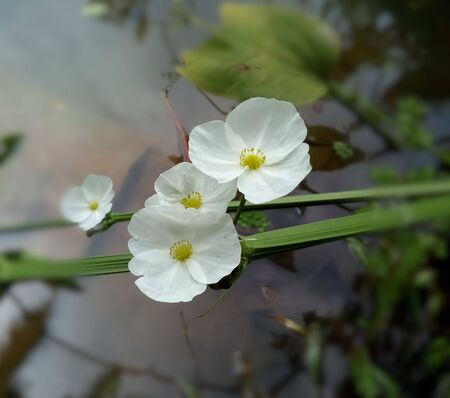 Closeup white sword plant, aquatic plant. sword lily with blur background. Stock Photo