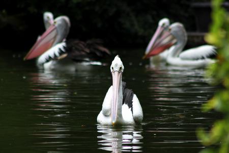pelikan: Pelikan Birds