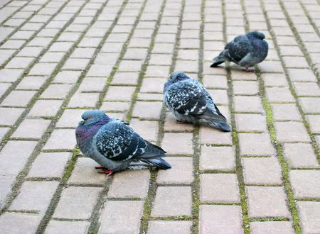 ruffle: three pigeons in the park Stock Photo