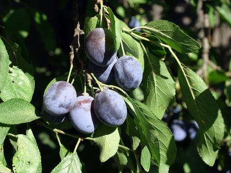 Grape of ripe plums on the tree photo