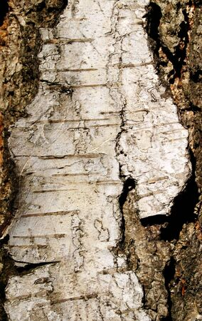 Crust layer of the birch photo