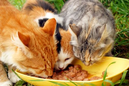 Three cats having a breakfast photo