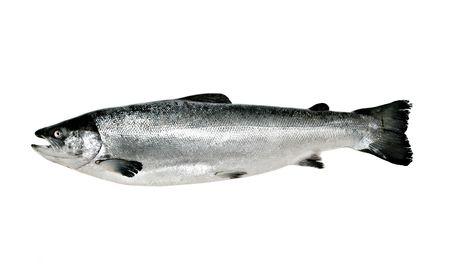 fish isolated: Big salmon fish isolated on white background