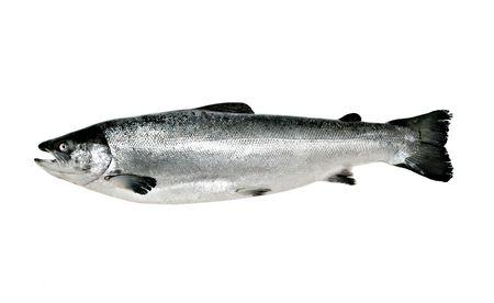 Großen Lachs Fischen isoliert auf weißem Hintergrund