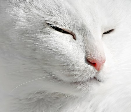 Close up of sleepeng beauty white cat Stock Photo - 7163310