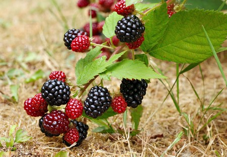 Blackberry bush in the garden Stock Photo - 8167256