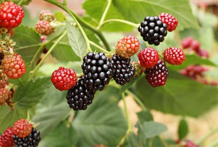 braam: BlackBerry bush in de tuin  Stockfoto
