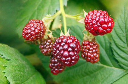 Ripe berries in the garden photo