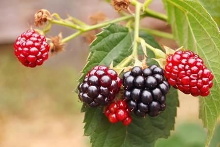 blackberry bush in the garden photo