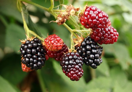Black berry bush in the garden photo