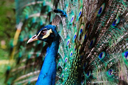 Peacock in the thailand zoo Stock Photo - 9395891