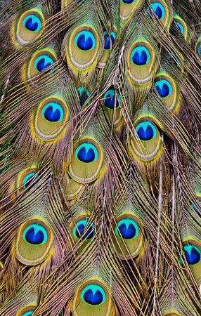 Peacock back as a background photo