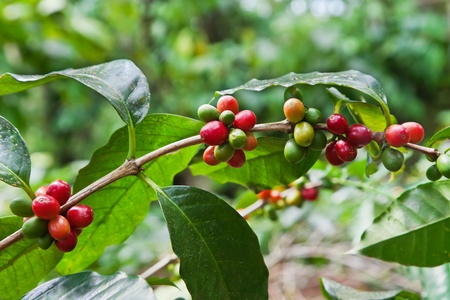 Coffee tree with ripe berries on farm, Bali island photo