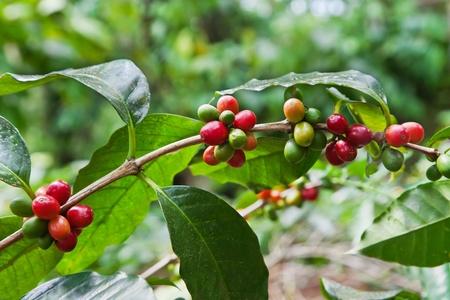 planta de cafe: Árbol de café con bayas maduras en granja, isla de Bali